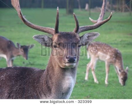 Male Deer At Guard