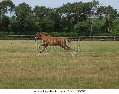 Thoroughbred Foal