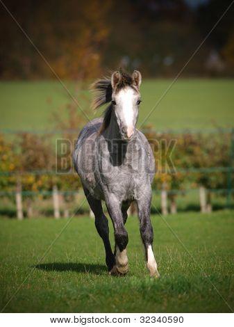 Welsh Pony Running