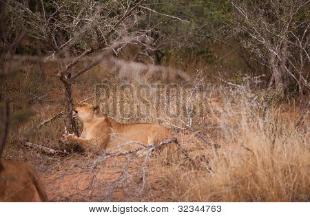 Female Lion Scratching At A Tree