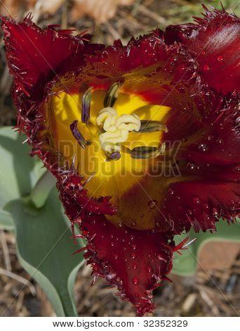 Closeup of striking tulip