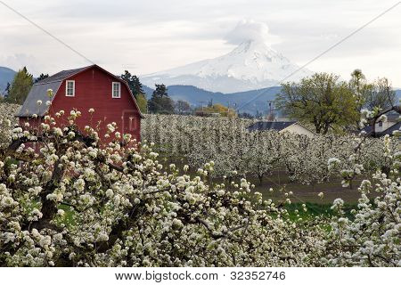 Red Barn In Hood River Pear Orchard