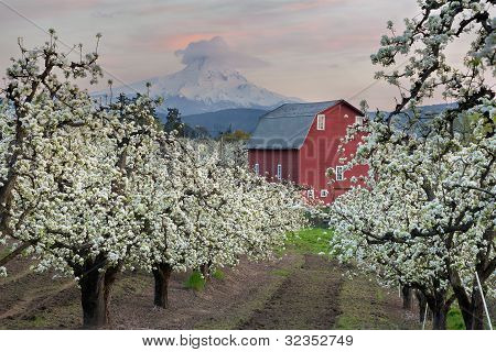 Red Barn In Pear Orchard At Hood River