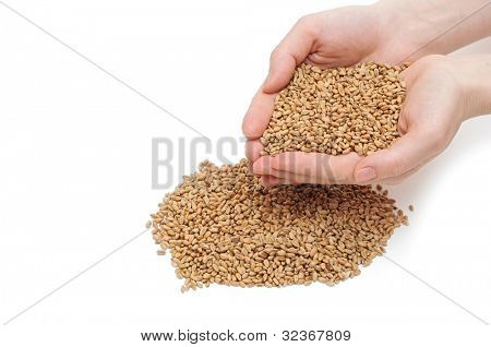 grain in hand on white background