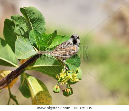 Sparrow on Jatropha �¢�?�? two endemic species on one photo: Socotra Sparrow (Passer insularis) on Jatropha unicostata (Euphorbiaceae)