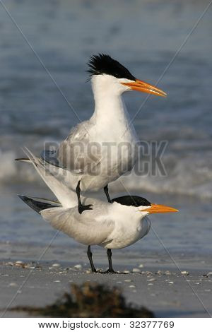 Royal Terns Courtship Display