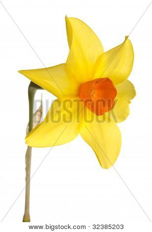 Orange And Yellow Daffodil Flower Against A White Background