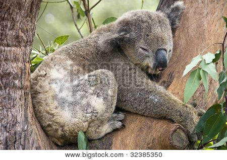 A Koala Bear At A Nature Reserve Near Sydney, Australia.