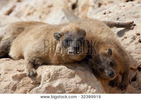Rocks Hyrax (procavia Capensis)