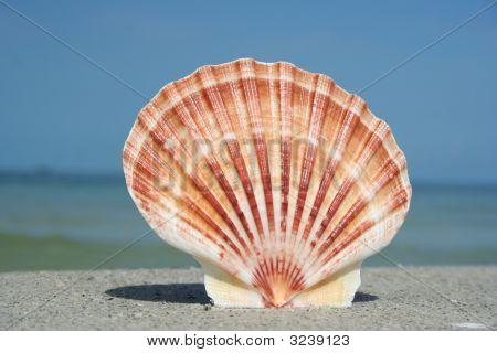 Standing Seashell