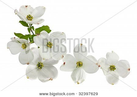 Pink White Dogwood Flowers