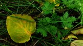 Fresh Leaf With Yellow Leaf Veins On Green Surface Closeup. Top View Of Autumn Leaf Among Fresh Gree poster