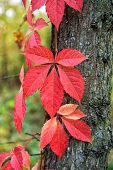 Why Leaves Changing Color. Red Leaf. Autumn Is Already Here. Vibrant Leaves Close Up. Autumnal Backg poster
