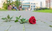 A Rejected And Discarded Red Rose Flower Lies On The Stone Pavement Of A Footpath In A City Park Aga poster