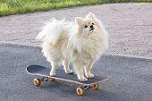 Happy Cute Pomeranian Spitz Dog Standing, Riding On Skateboard. Funny Fluffy Puppy Skateboarding, Sk poster