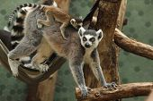 Ring-tailed lemur (Lemur catta) with its newborn baby in the back. poster