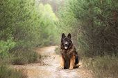 Fluffy German Shepherd In Nature. Dog Outdoors In The Forest poster