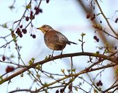 foto of brown thrush  - an image of  a song thrush turdus philomelos - JPG