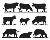 Cows In Different Poses Vector Set. Silhouettes Of Grass. Cow Grazing On Meadow. poster