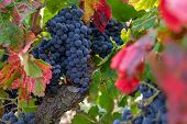Close Up Of Berries And Leaves Of Grape-vine. Beautiful Bunch Of Ripe Red Wine Grapes On A Vine On R poster