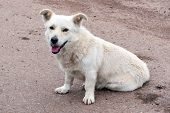 Stray Dog. A Stray, Light-colored, Non-purebred Dog Is Looking At Us. poster