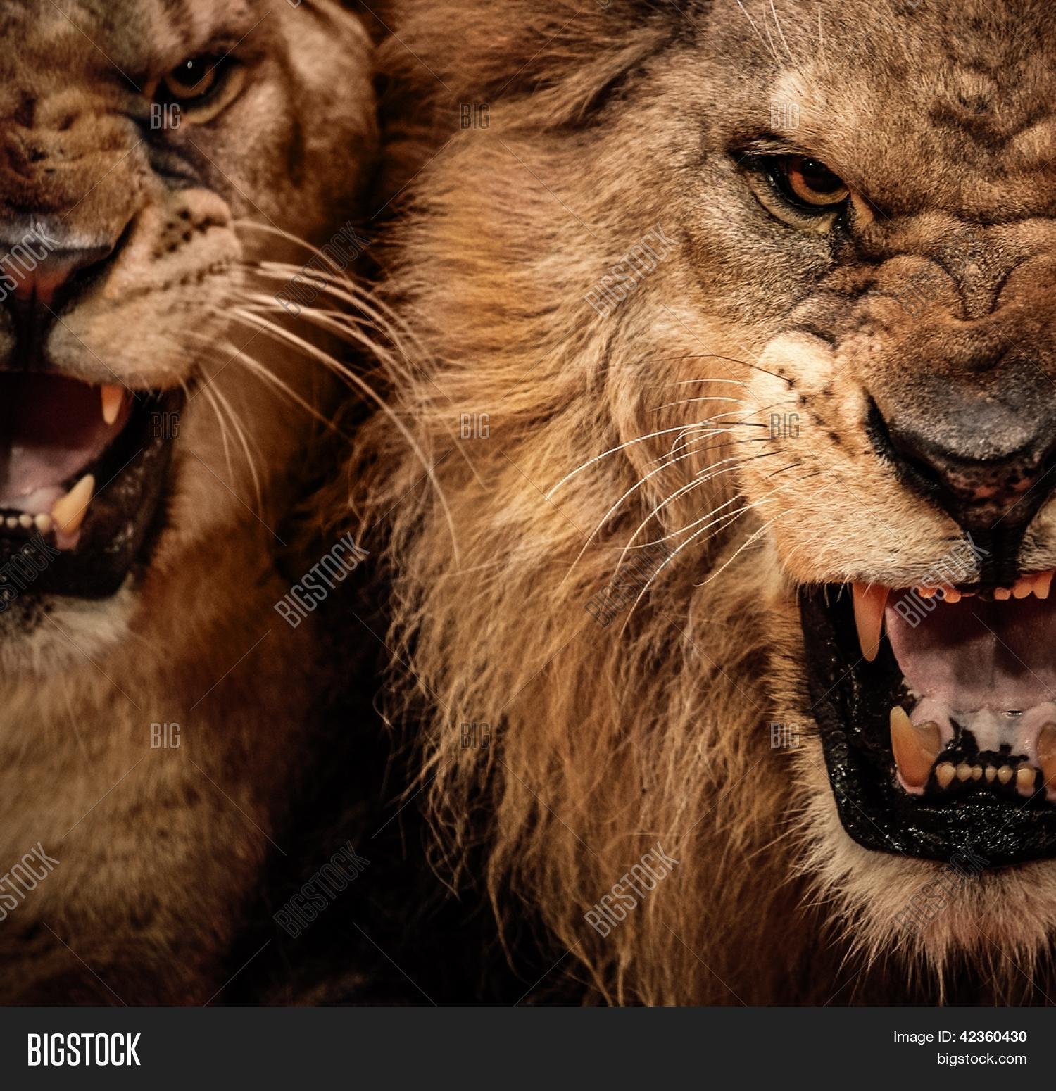 Close- Shot Two Roaring Lion Image & Photo   Bigstock - photo#49