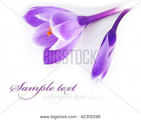 Crocus isolated on white background