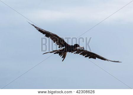 Frigate Bird Soaring through a Blue Sky
