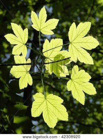 Ornamental Leaves Sunny Floodlit