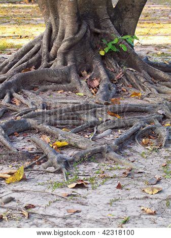 Root On Dry Ground Of Desert