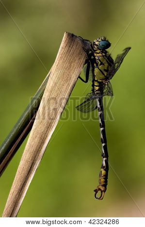 Dragonfly Anax Imperator On A  Leaf