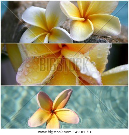 Yellow Frangipani Triptich