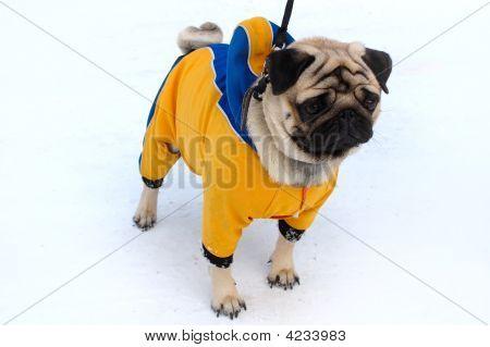 Pretty Pug-Dog In Winter Outerwear.