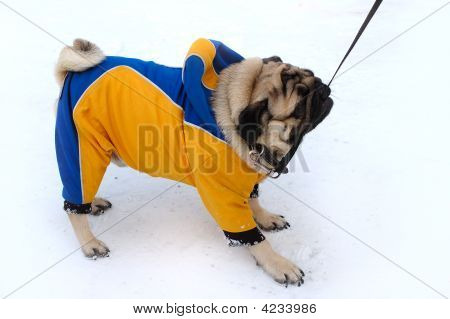 Pretty Pug-Dog In Winter Outerwear.