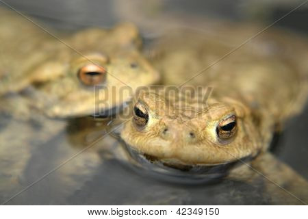 Common Toads Portrait