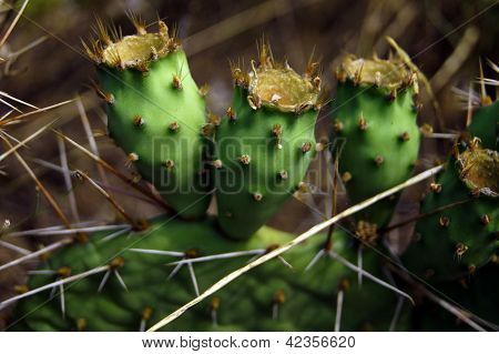 Prickly Pair On Opuntia Cactus
