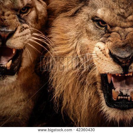 Toma cerca de dos león rugiente
