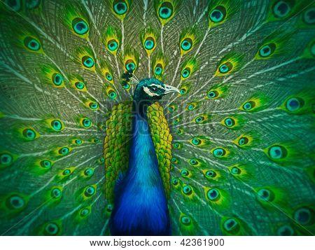Male Peacock - Digital Painting