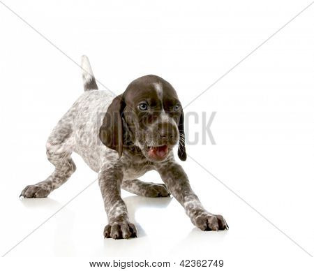 playful puppy - german short haired pointer puppy isolated on white background - 5 weeks old