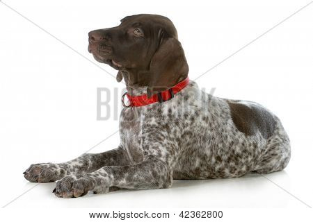 german shorthaired pointer wearing red collar laying down looking up isolated on white background