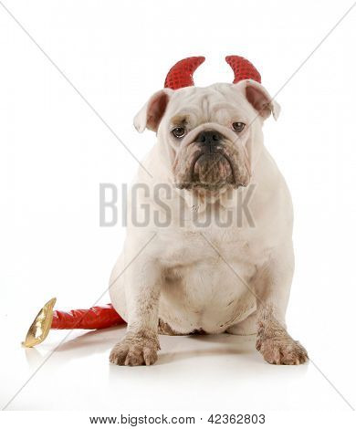 dirty dog - english bulldog wearing devil ears and tail isolated on white background - 6 months old