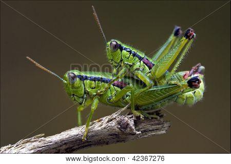 Grasshopper  Having Sex