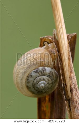 Head Of Wild Brown Gastropoda