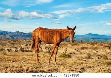 Young Horse In A Desert