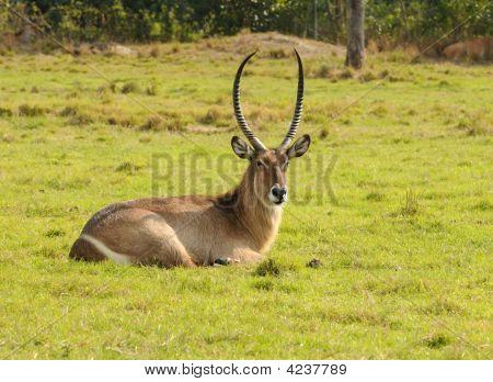 Antilope Resting