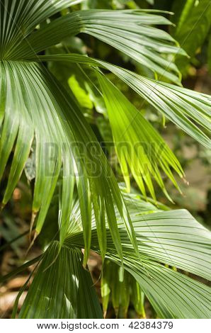 Panama Hat Palm
