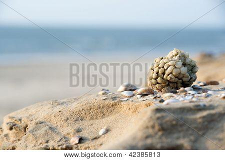 Ball eggs of common whelk shell