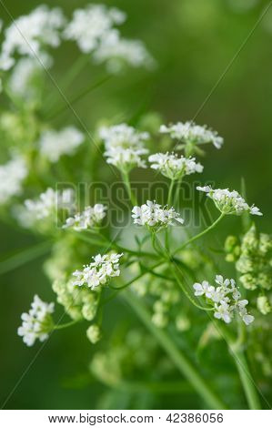 White flowers in nature Burnet Saxifrage