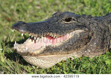 American Alligator Basking In The Sun