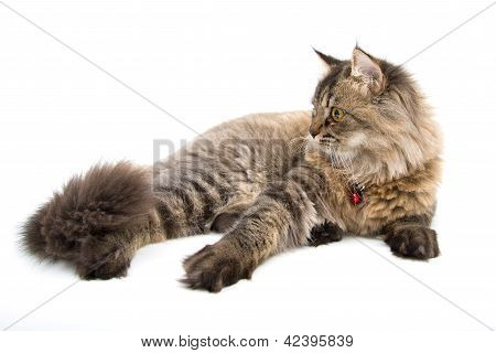 Persian Cat Lay On The Floor, Side Face
